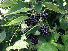 Blackberries_near_Erlangen_3