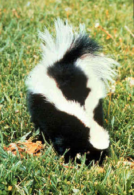 274px-Striped_skunk