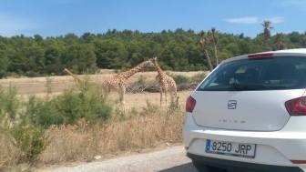 Africapark Giraffen