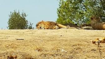 Löwe Africapark