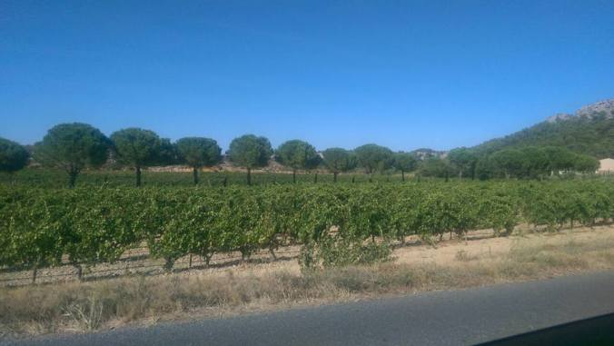 Weinreben Südfrankreich